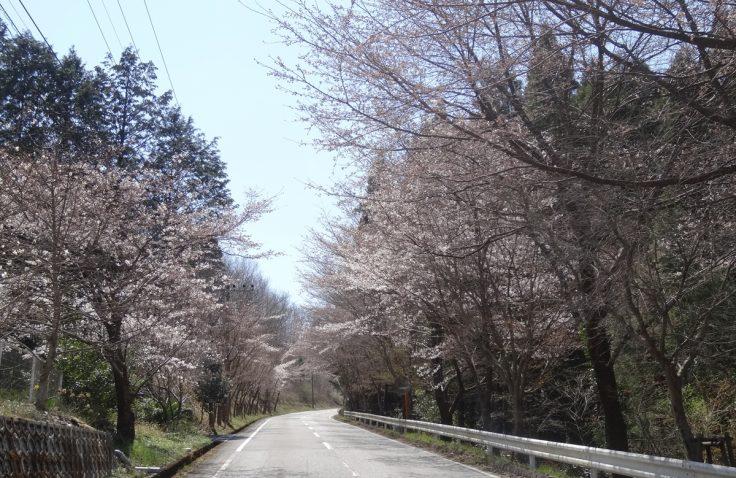 宮崎県諸塚村2015年3月26日の大規模林道沿いの桜